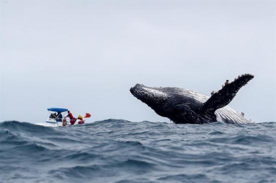 Las jorobadas, gigantes del Antártico, recalan en las costas de Ecuador