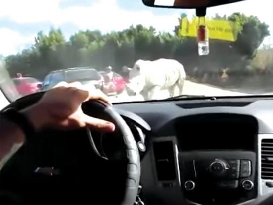 Rinoceronte ataca un carro