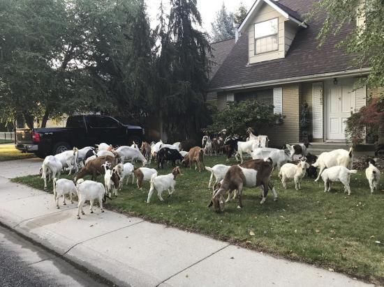 Una ciudad fue invadida  por más de cien cabras