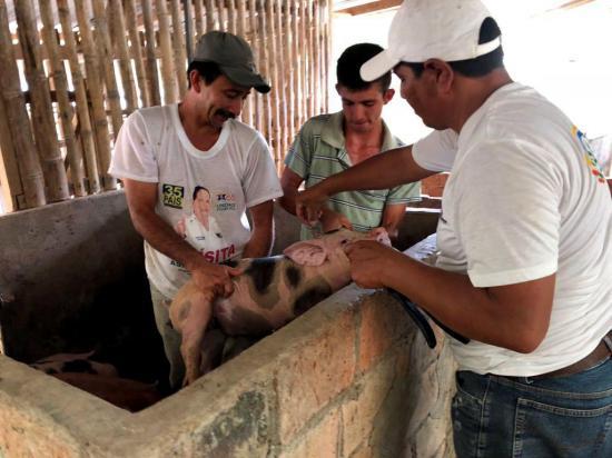 Campaña para combatir la peste porcina