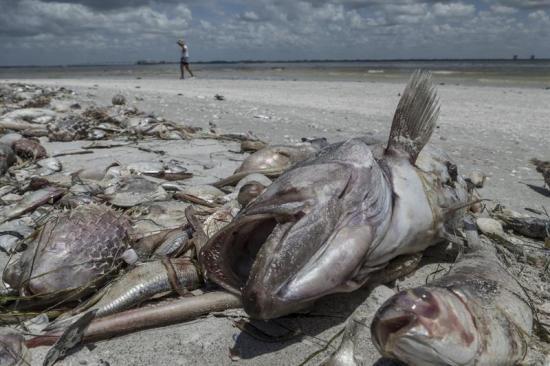 Hallan nueve delfines muertos en las costas de Florida afectadas por marea roja