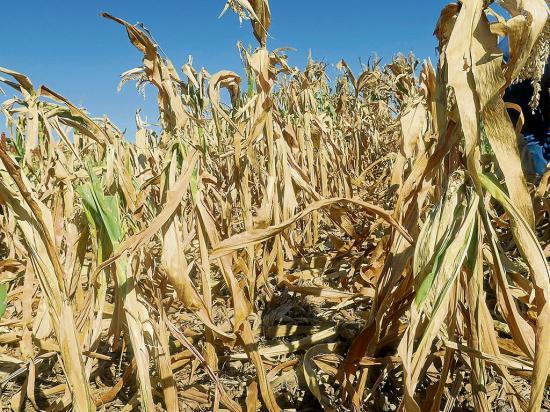 La sequía y las  plagas afectan la zona agrícola