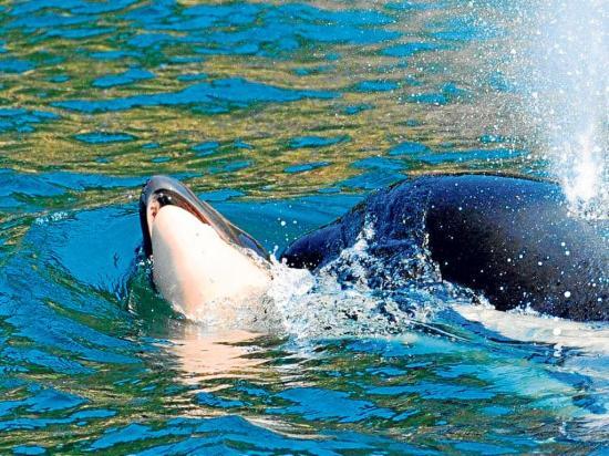 """Una orca que cargó a su  cría muerta por 17 días finalizó su """"duelo"""""""