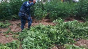Policía destruye 114.692 matas de marihuana en el oeste de Guatemala