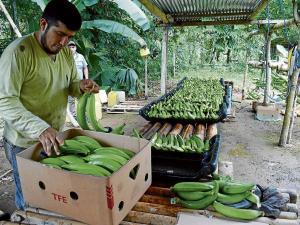 El plátano del mercado local está más caro que el de exportación
