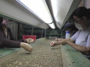 El arte de seleccionar, clave para un buen café