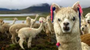 Muere alpaca andina luego de que un hombre le diera de comer ''doritos'' en Florida