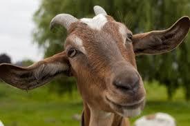 Las cabras reconocen a la gente feliz y prefieren estar con ella