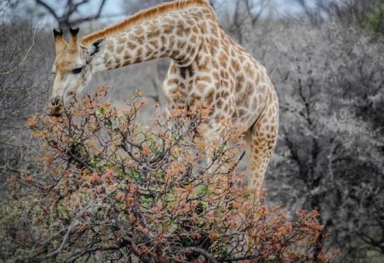 Una jirafa aplasta y hiere de gravedad a una mujer y su hijo en Sudáfrica