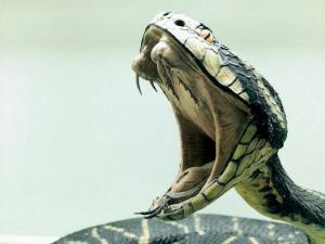 Adictos a veneno de cobra