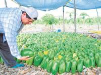 Los cítricos empujan el precio de la papaya