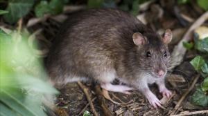Detectan primer caso de enfermedad de las ratas en un humano