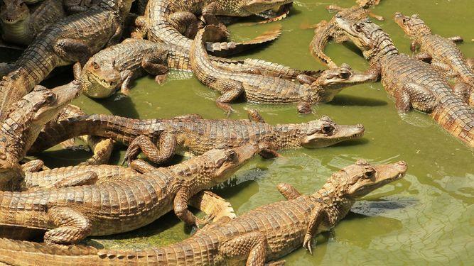 Decomisan en Panamá 300 libras de carne de cocodrilo