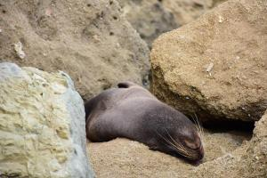 Un lobo marino bebé toma su siesta en una playa de Manta