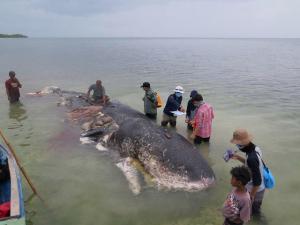 Hallan cachalote muerto con 6 kilos de plástico en el estómago en Indonesia