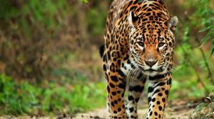 Conferencia de Biodiversidad celebra el día del jaguar por primera vez