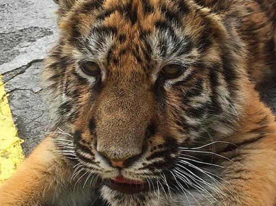 Decomisan un tigre siberiano