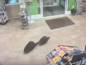 Una pareja de castores sale de 'compras'