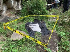 Investigan las causas de la muerte de Ami, un cóndor hembra