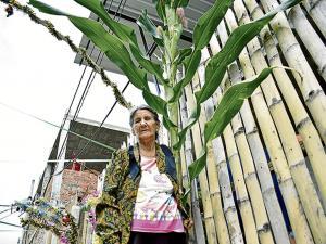 Planta de maíz cosecha ocho mazorcas y causa sorpresa entre vecinos