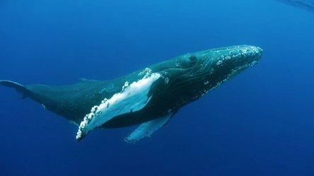 Descubren que antigua ballena de 15 metros era una depredadora prehistórica