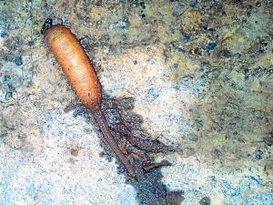 Un gusano-rata