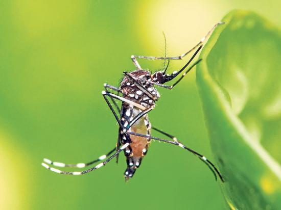 Dengue ayuda contra el Zika