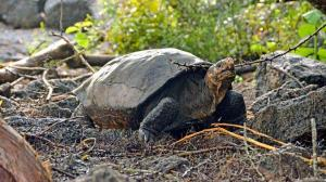 Hallazgo en Galápagos de tortuga gigante que se creía extinta abre esperanzas