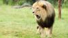 Un león mata a su dueño en un zoológico privado sin permisos