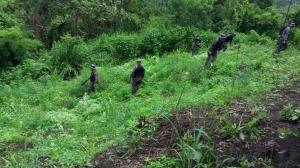 30.000 plantas de marihuana fueron destruidas en el cantón Jipijapa, Manabí