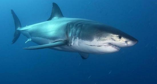 Científicos vigilan en Galápagos a tiburones azules amenazados por su pesca