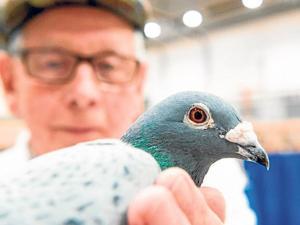 Subastan una paloma mensajera por 1,4 millones de dólares