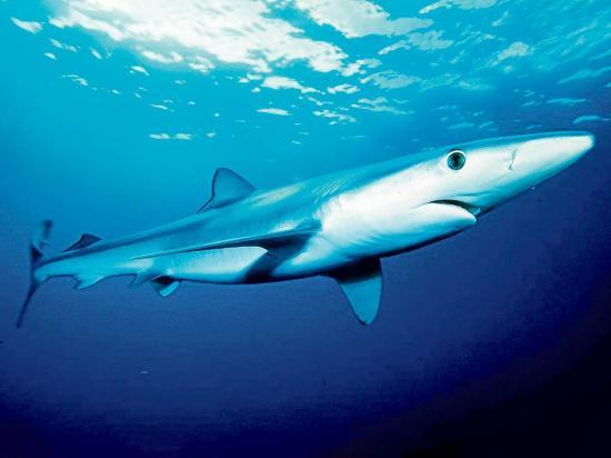 Científicos vigilan a  los tiburones azules