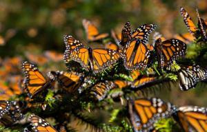 Migración de la mariposa monarca corre riesgo por deforestación, dice experto