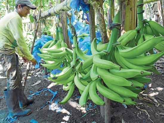 Se quejan por el precio del plátano