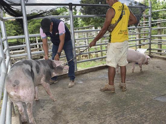 Vacunación para la porcina se realiza permanentemente en Chones
