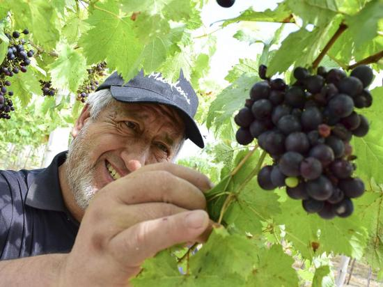 En san clemente siembran uvas y elaboran vino