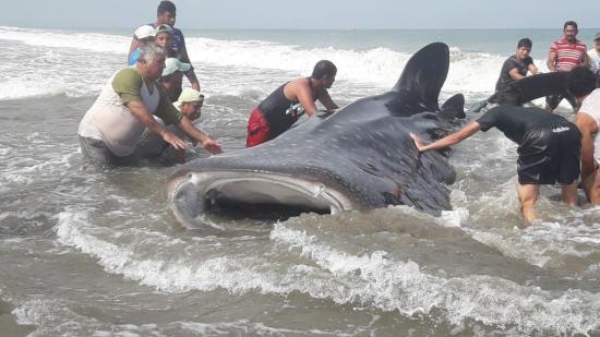 Tiburón ballena es devuelto al mar por pescadores de San Clemente