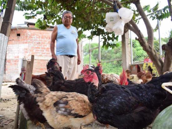 Cien gallinas para feria gastronómica