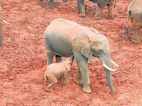 Salvan a seis elefantes