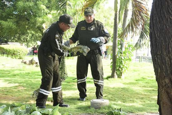 Se llevan las iguanas