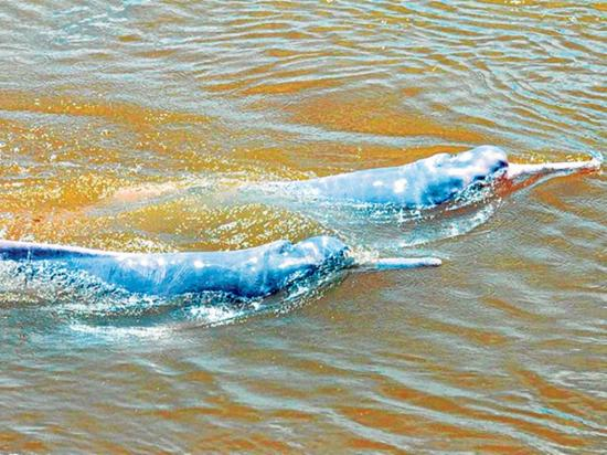 Investigadores registran 48 delfines de río en la Amazonía