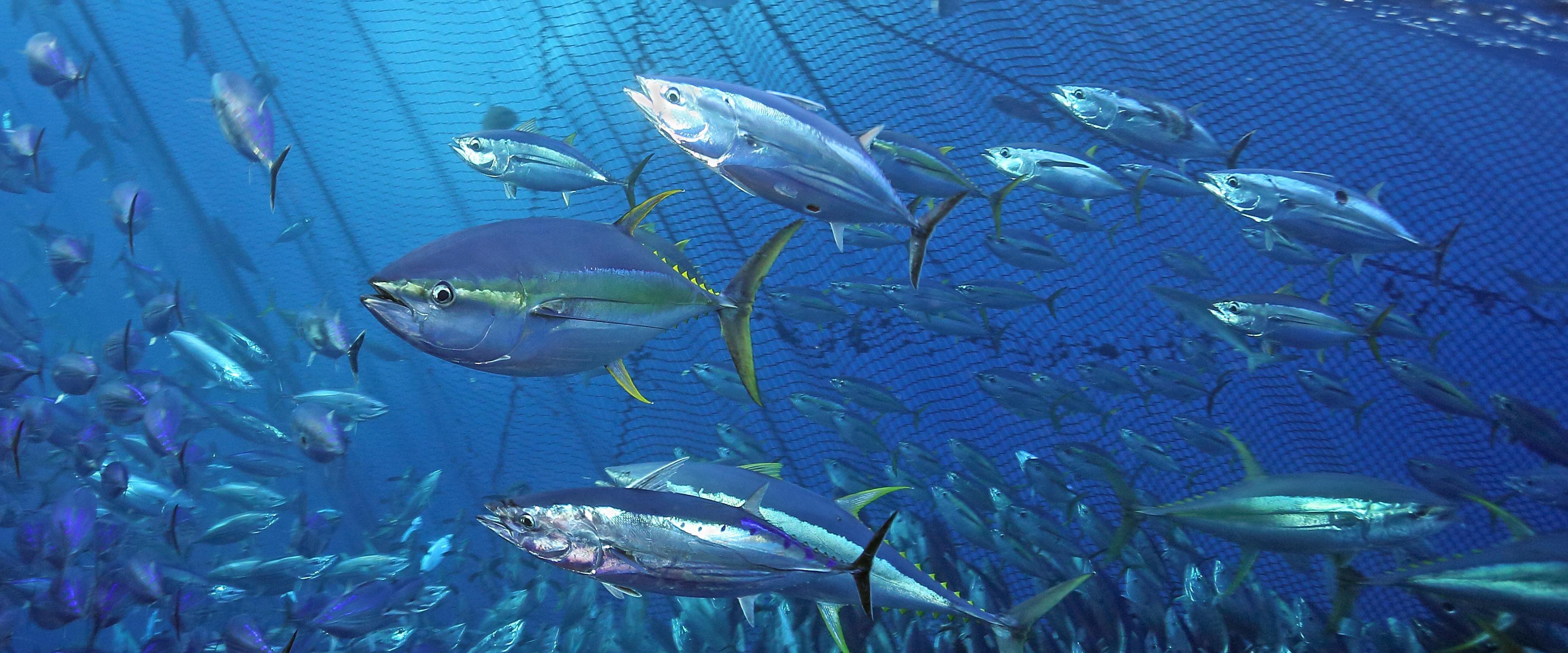 El atún, muy apreciado en la cocina, y la lucha con la sobrepesca