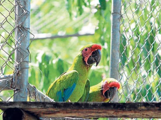 Liberan a seis guacamayos en la Reserva Ayampe