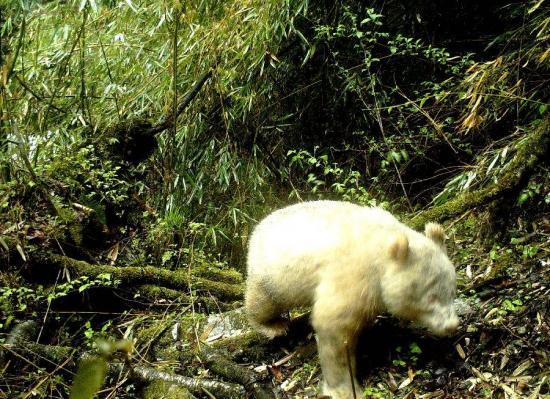 Avistan por primera vez un panda albino en una reserva de China