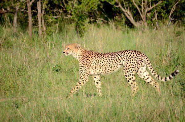 Un leopardo mata a un niño de dos años en el Parque Kruger de Sudáfrica