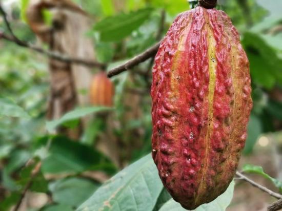 Ecuador quiere posicionar su cacao fino y duplicar ventas hasta el año 2030