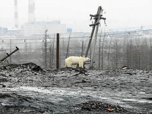Oso polar viajó 800 kilómetros en busca de comida