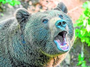 Arranca lengua de oso