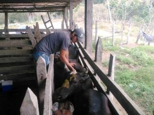900 Mil bovinos se vacunarán
